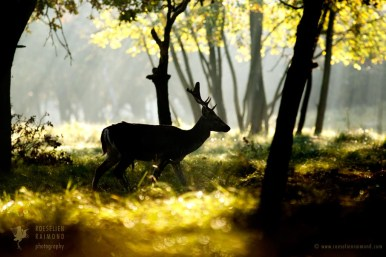 Fallow Deer in a Fairytale ForestFallow deer silhouette on an early morning during the rutting season