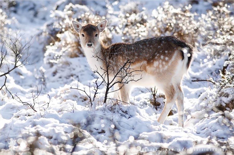 fallow deer snow dama dama winter