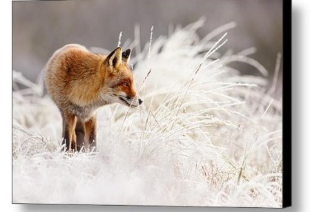 Fox in the snow fine art