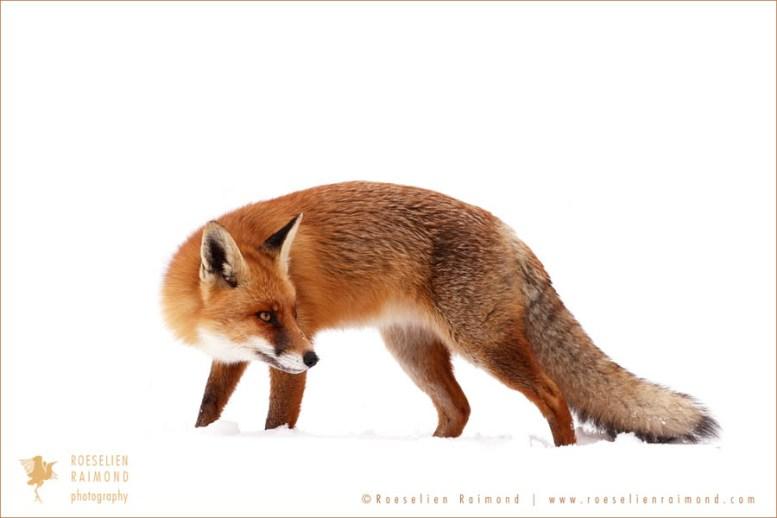 wildlife red fox vulpes vulpes snow winter cold white portrait wild animal