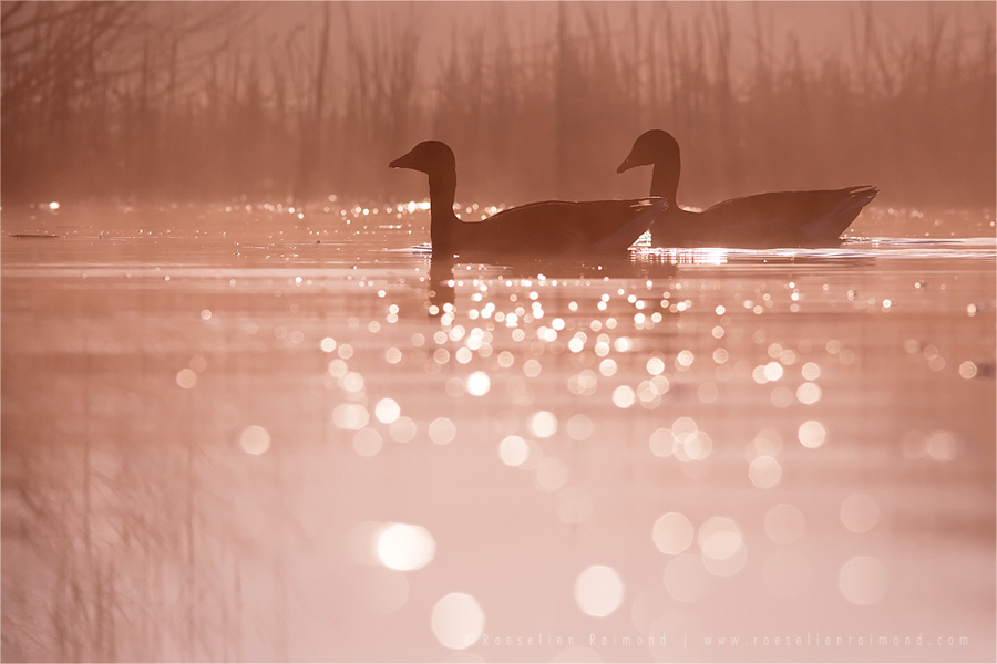 bird mist fog sunrise water reflection bokeh glittering silhouettes Bird photography Greylag Goose Anser anser