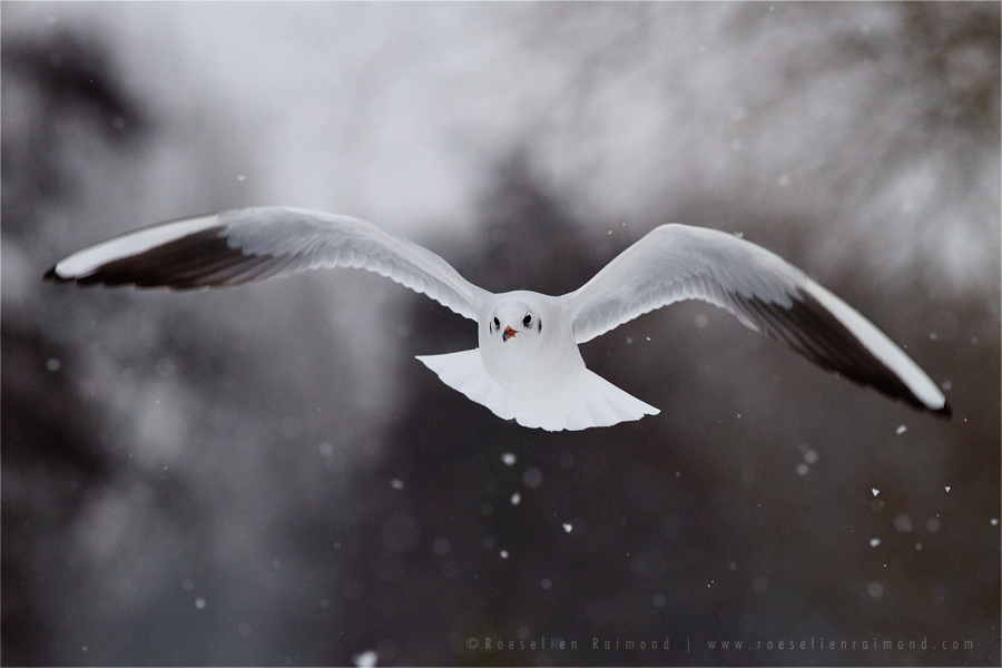 Black-headed Gull snow winter flakes cold Chroicocephalus ridibundus Bird photography