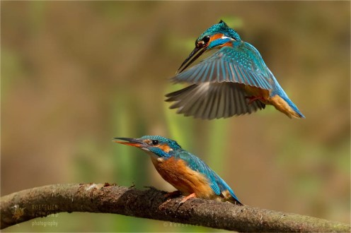 Common Kingfisher mating courtship love Alcedo atthis Bird photography