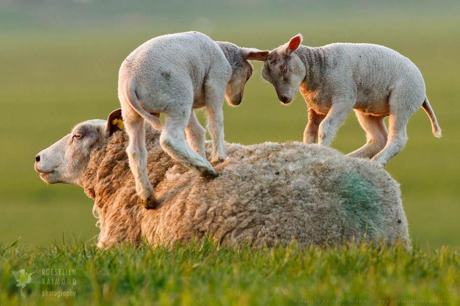 Leap Sheeping Lambs