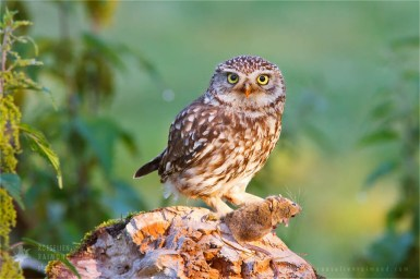 Little Owl Athene noctua Bird photography prey mouse