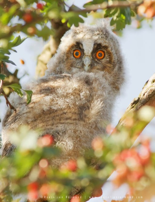 Long-eared Owl Asio otus Strix otus nestling owlet baby cute youngster baby animal