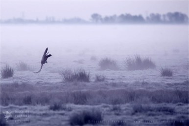 Netherlands mood scenery landscape atmosphere Phasianus colchicus pheasant