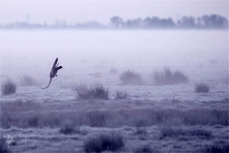 Netherlands mood scenery landscape atmosphere Phasianus colchicus pheasant