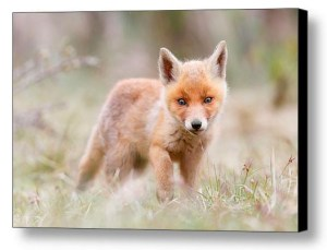 Fox kit fine art photography