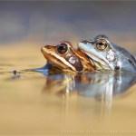 wildlife Moor frog Rana arvalis mating amplex blue