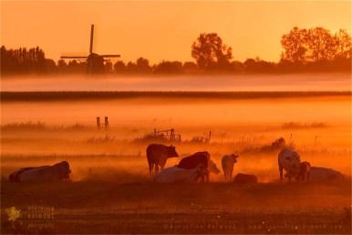 polder sunrise mist fog light cows meadow mill snature photography fine art