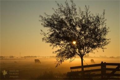polder sunrise mist scenery landscape fog light cows