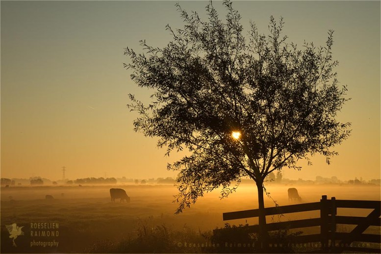 polder sunrise mist scenery landscape fog light cows
