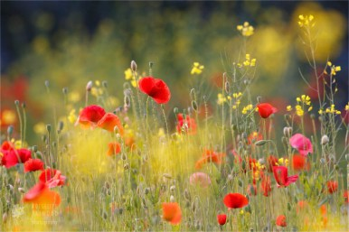 poppy_field._fineart