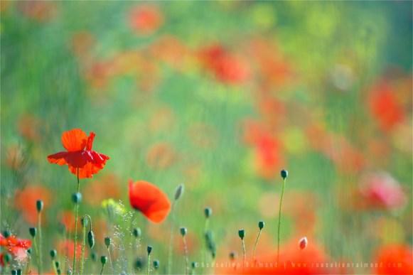 Fine art nature photography poppy