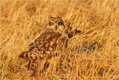 Bird photography Short-eared Owl camouflage Asio flammeus