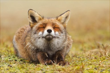 wildlife red fox vulpes vulpes relaxed wild animal