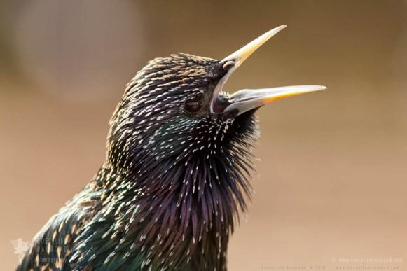 Common Starling Sturnus vulgaris Bird photography