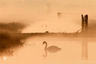 Mute swan Cygnus olor mist fog bird photography