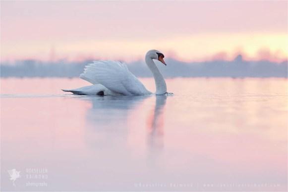 Mute swan Cygnus olor baby nestling cygnet bird photography
