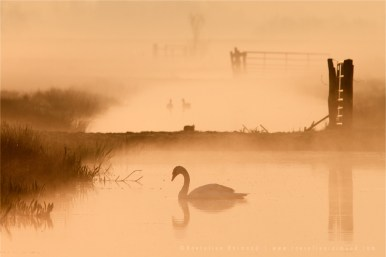 swan mist fog Netherlands scenery landscape mood atmosphere sunrise mist
