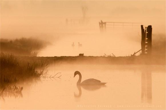swan mist fog Netherlands scenery landscape mood atmosphere sunrise mist