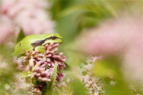 Hyla arborea tree frog flower
