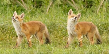 fox kit cub vulpes vos zorro renard fuchs cute playing wild animal