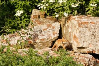 Fox on the Rocks I