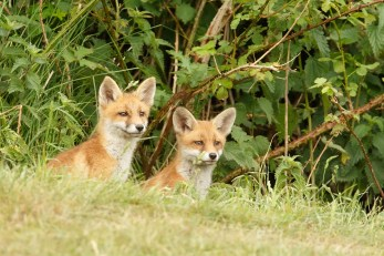 fox kit cub vulpes vos zorro renard fuchs cute playing wild animal