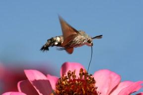 Hummingbird Hawk-moth (Macroglossum stellatarum) using its long proboscis to suck nectar from a flower