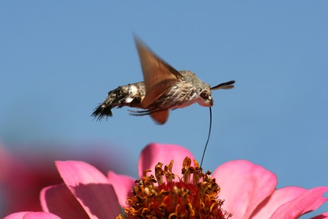 Hummingbird Hawk-moth (Macroglossum stellatarum) using its long proboscis to suck nectar from a flower