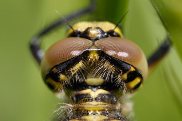 Close up of a four-spotted chaser Libellula quadrimaculata Viervlek