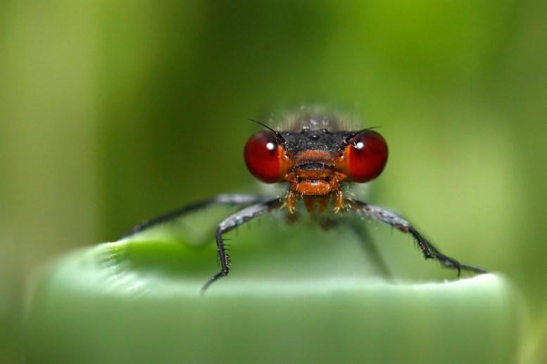 Small Red-eyed Damselfly Erythromma viridulum kleine roodoogjuffer