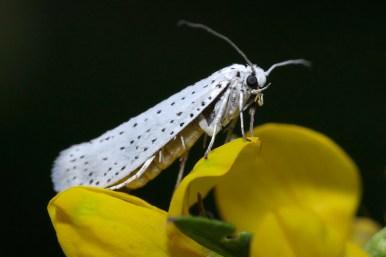 Ermine moth stippelmot Yponomeutidae