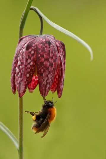 Unknown Bumblebee Bombus sp.