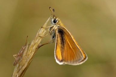 Small skipper Thymelicus sylvestris Geelsprietdikkopje