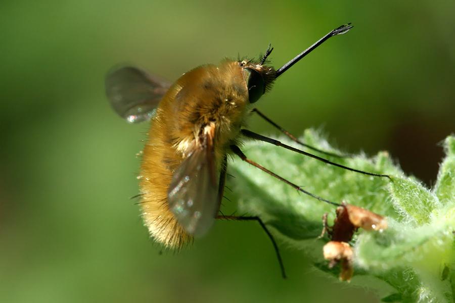 Heath bee fly Bombylis major/minor Wolzwever