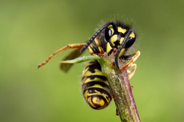 Common wasp Vespula vulgaris Gewone wesp