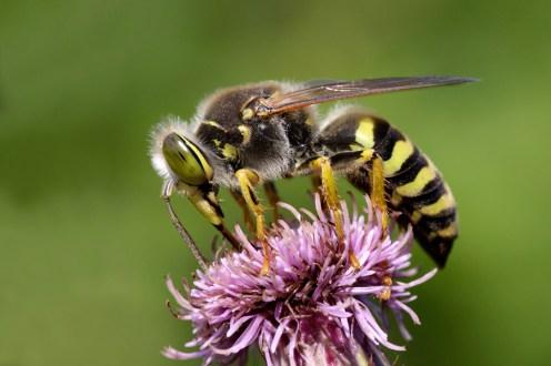 Sand Wasp (Bembix rostrata) Sand Wasp - Harkwesp (Bembix rostrata)