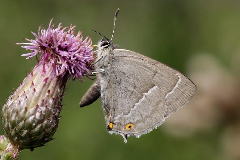 Purple hairstreak Neozephyrus quercus Eikenpage