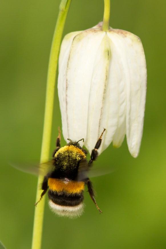 Unknown Bumblebee Bombus sp. Onbekende hommel