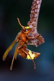 European Hornet devouring an Octopushoornaar (Vespa crabro)