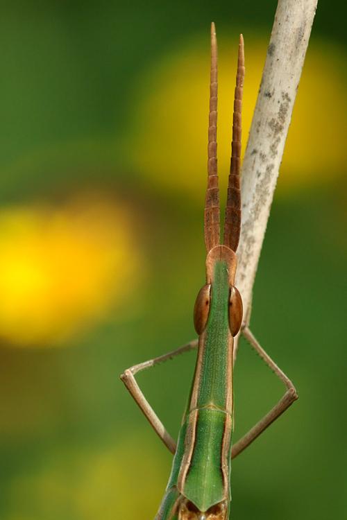 rasshopper Acrida hungarica