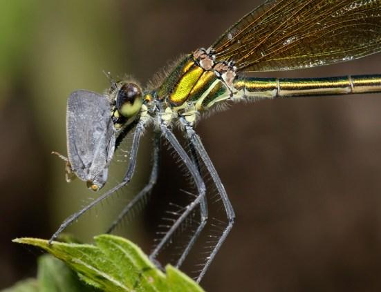 Banded Demoiselle (calopteryx splendens) with leafhopper prey