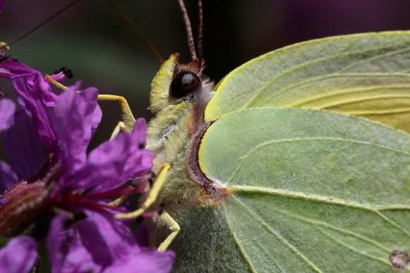 Cleopatra Butterfly Gonepteryx cleopatra