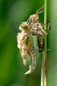 Emerging four-spotted chaser Libellula quadrimaculata