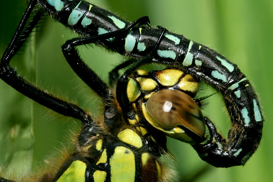 Close up of mating Hairy dragonfly Brachytron pratense Parende glassnijders