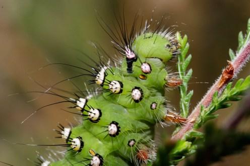Small Emperor Moth Saturnia pavonia Kleine Nachtpauwoog