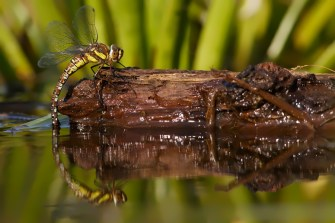 Migrant hawker (Aeshna mixta) female oviposition Eiafzettende paardenbijter vrouw